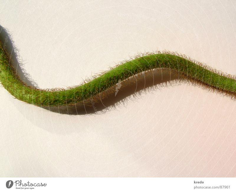 Mohnschlange geschlängelt Schlangenlinie Genauigkeit Pflanzenteile wellig Windung Flaum grün krabbeln biegen Wellenlinie Zärtlichkeiten minimalistisch