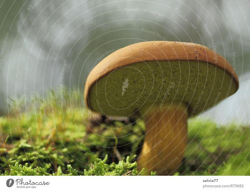 Röhrling Natur Pflanze Erde Herbst Moos Pilz Pilzhut Wald stehen Wachstum dick frisch lecker unten braun grau grün Einsamkeit ruhig Umwelt Maronenröhrling