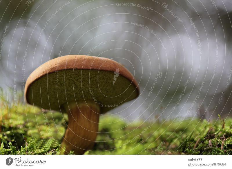 Röhrling II Natur Pflanze Erde Herbst Moos Pilz Pilzhut Wald stehen Wachstum dick lecker weich braun grau grün Einsamkeit Klima Perspektive Stimmung Umwelt