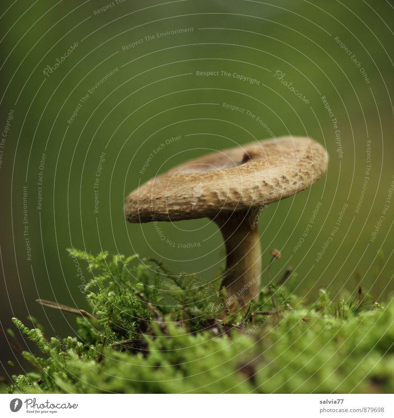 Brauner im Grünen Natur Pflanze Erde Herbst Moos Wildpflanze Pilz Pilzhut Wald stehen Wachstum dünn Gesundheit klein lecker natürlich weich braun grün