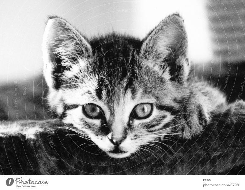 Lola Katze Tier schwarz weiß Nahaufnahme Fell Haustier Wachsamkeit Säugetier Konzentration Hauskatze Schwarzweißfoto Nervosität Kontrast
