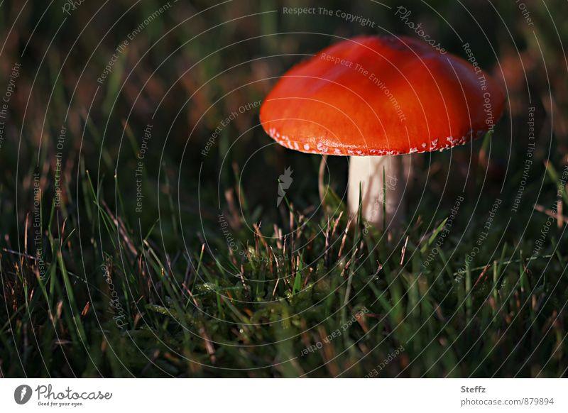 allein im Wald Natur rot Wald Herbst Wiese Pilz herbstlich Gift Oktober Herbstbeginn Lichteinfall Pilzhut Herbstwald Fliegenpilz Lichtstimmung Nachmittagssonne