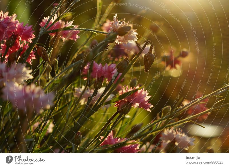 Blumenwiese Natur Pflanze grün Sommer ruhig Umwelt Leben Wiese Frühling natürlich Garten Stimmung rosa Wachstum Idylle