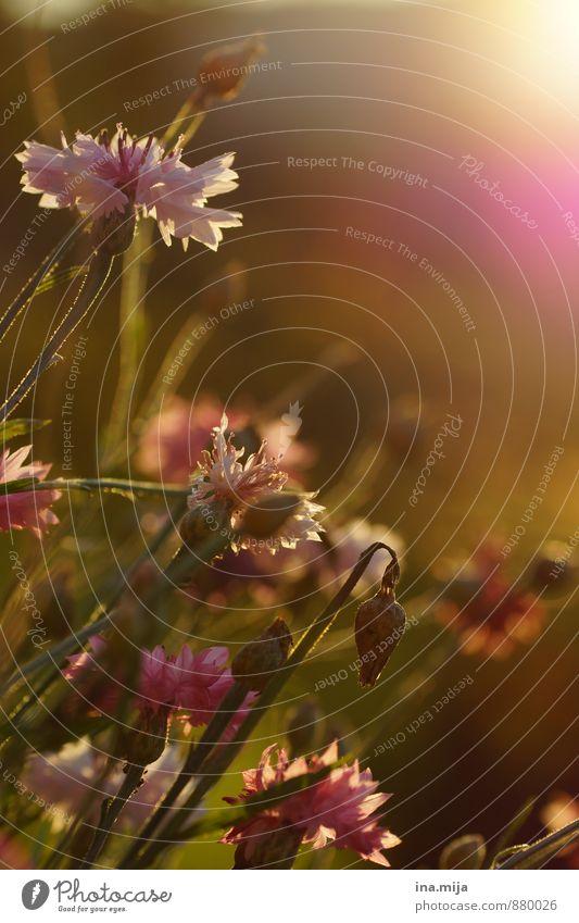 Spätsommer Natur Pflanze grün Sommer Sonne Blume ruhig Umwelt Wiese Herbst Gras Blüte Freiheit Garten Stimmung rosa