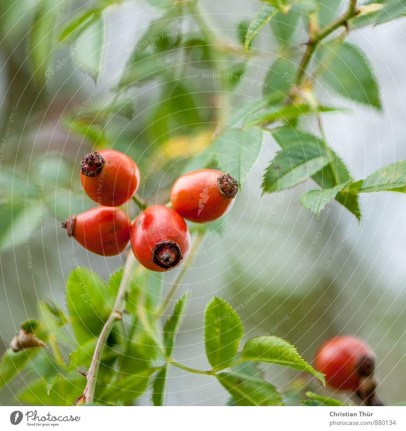 Hagebutten Natur Pflanze Erholung ruhig Umwelt Wiese Herbst Gesundheit Garten Gesundheitswesen Feld Zufriedenheit Sträucher ästhetisch Schönes Wetter Blühend