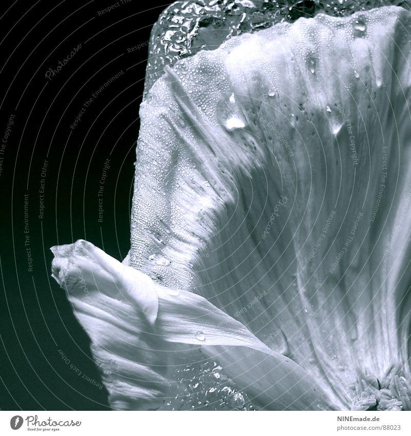 frozen poppy I - Detail Mohnblatt Blüte Mohnblüte Ordnung Wellen wellig Licht zart Blühend schwarz Vor dunklem Hintergrund Quadrat Lichteinfall edel sensibel