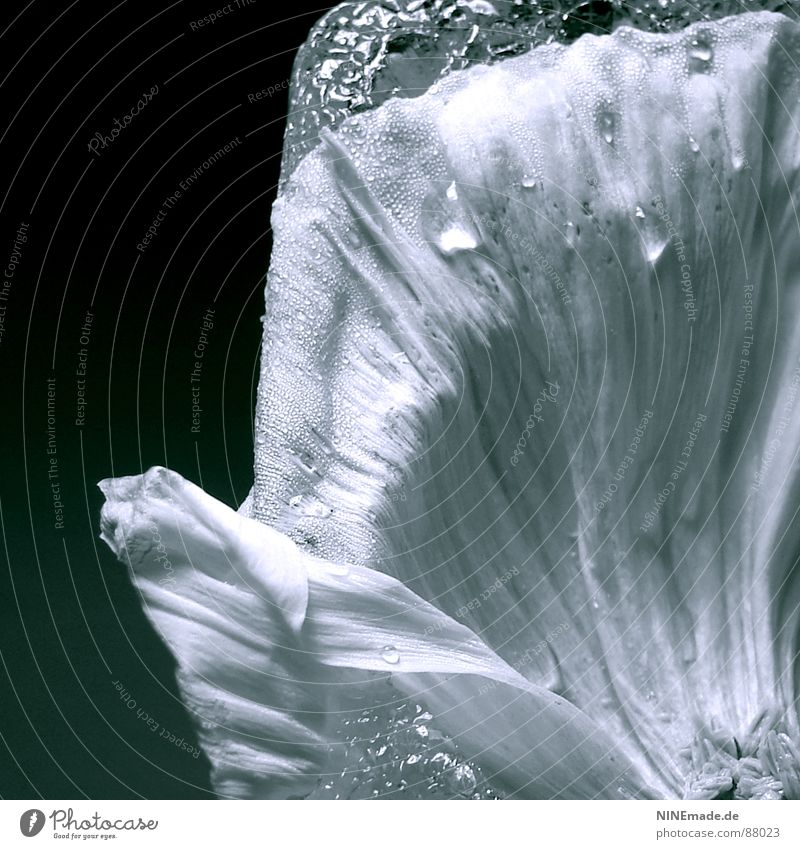 frozen poppy I - Detail Wasser Winter schwarz kalt Blüte Eis Wellen elegant Wassertropfen Ordnung Bild zart Wissenschaften Blühend Quadrat Mohn