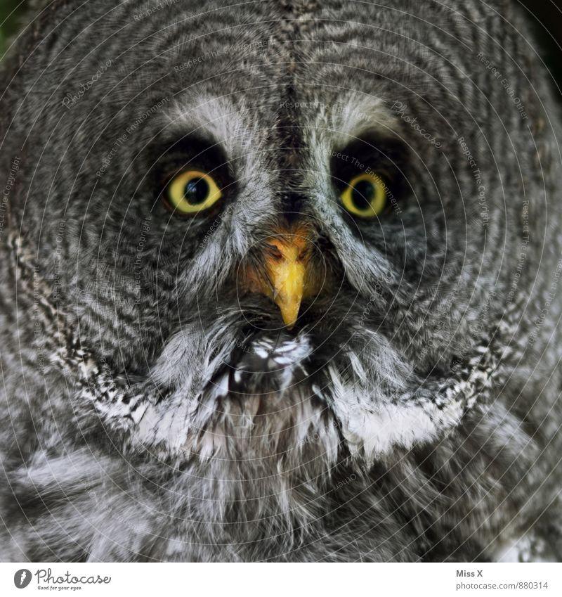 Huhu Wildtier Vogel 1 Tier Blick Bartkauz Eulenvögel Auge Farbfoto Nahaufnahme Muster Menschenleer Tierporträt Blick in die Kamera Blick nach vorn