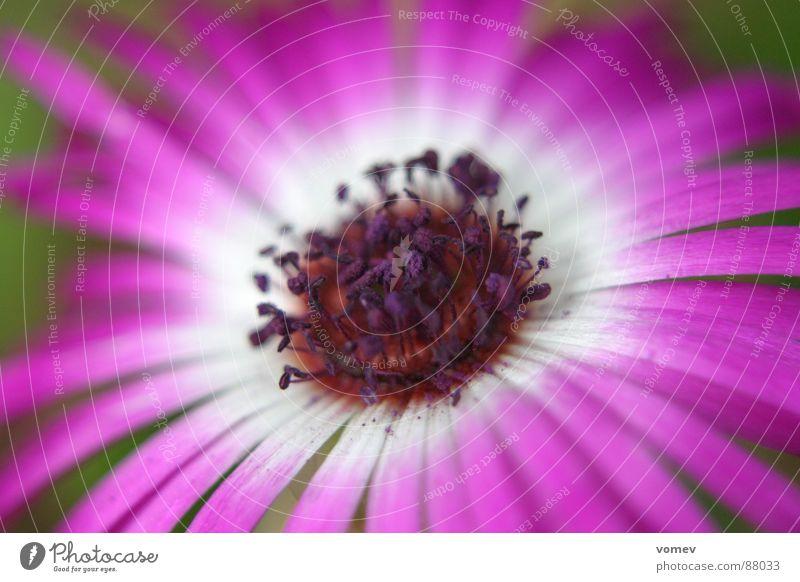 Blüte lila Pflanze Frühling Blume violett Blütenstempel Vollendung Farbe Pollen voll aufgeblüht in voller blüte