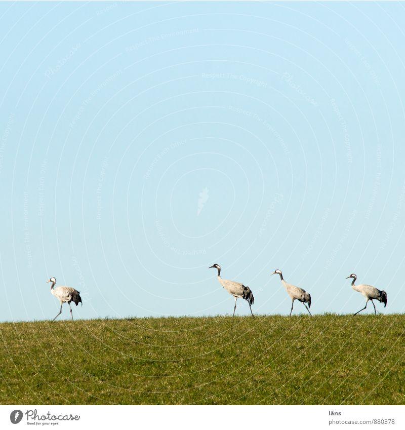der Zug der Kraniche Landschaft Himmel Wolkenloser Himmel Schönes Wetter Gras Wiese Wildtier Vogel 4 Tier Tiergruppe Tierfamilie Freundschaft Zusammensein