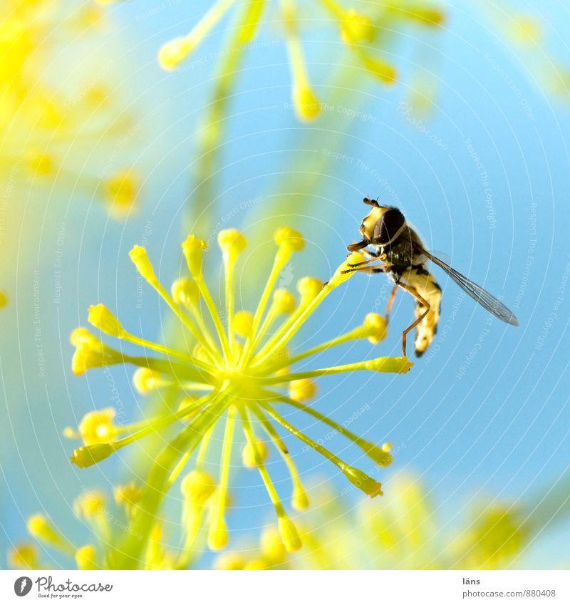 Nahrungsfeuerwerk blau gelb Himmel Insekt Schwebfliege Blüte