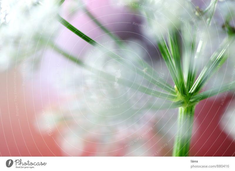 empfangsbereit Natur Frühling Blume Blüte Wildpflanze Wiese Blühend Wachstum ästhetisch außergewöhnlich natürlich Leichtigkeit Doldenblüte Stengel