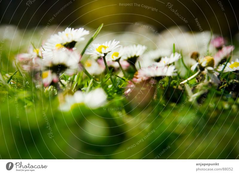 Gänseblümchen Blume Gras grün weiß rosa dunkel Wiese Frühling Makroaufnahme Nahaufnahme daisies sättigung DoF Unschärfe