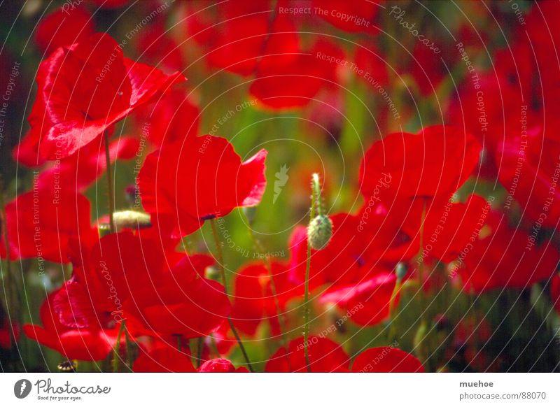mohn Griechenland Frühling rot Gute Laune Zoomeffekt Makroaufnahme Nahaufnahme Vergänglichkeit Korfu Frühstücksbar