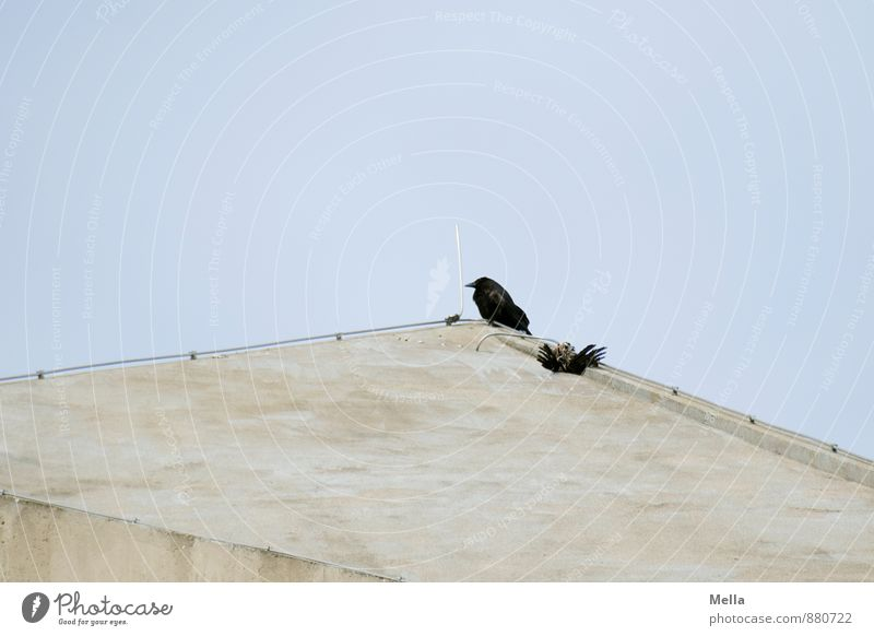 Totenwache Umwelt Natur Tier Himmel Fassade Dach Blitzableiter Vogel Krähe Aaskrähe 1 2 Beton hocken sitzen warten blau Traurigkeit Trauer Tod bedrohlich