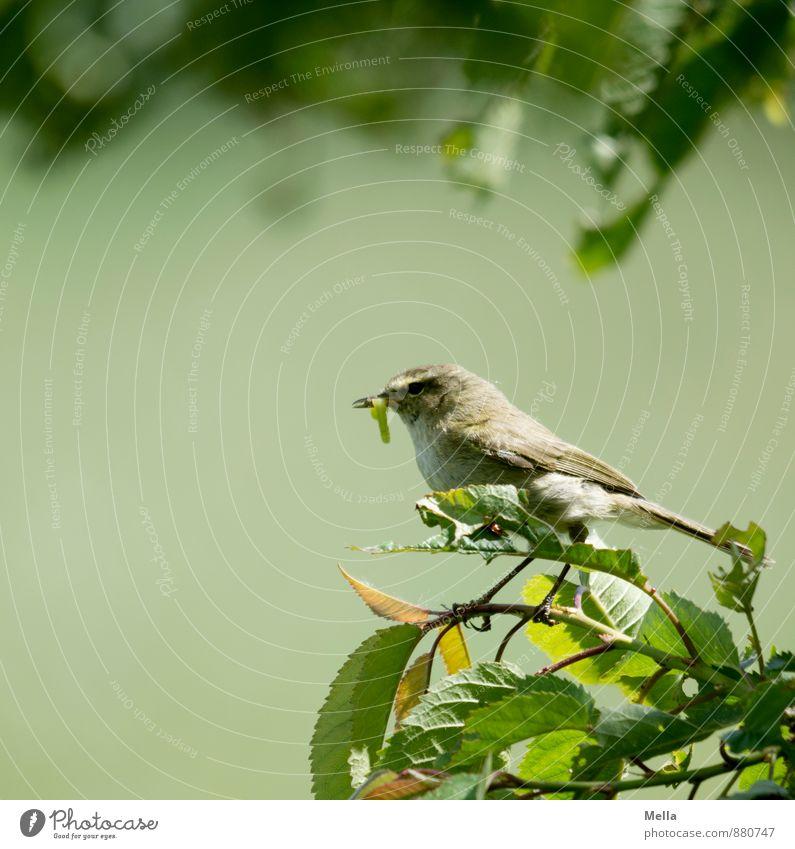 Fressen und gefressen werden Natur Pflanze Blatt Tier Umwelt Leben natürlich klein Vogel sitzen violett fangen füttern hocken Raupe