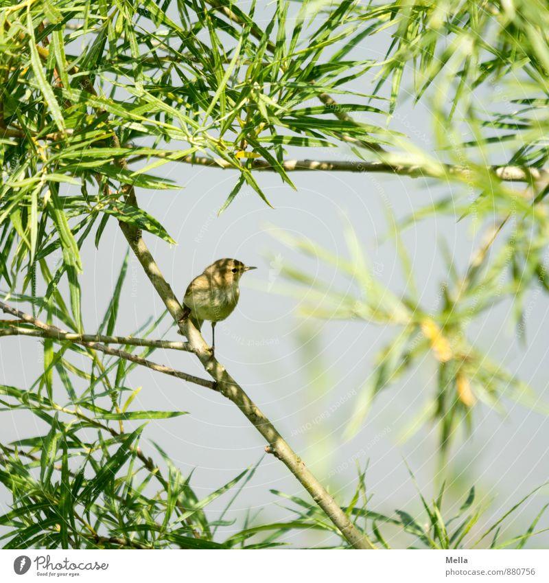 Schattenplätzchen Umwelt Natur Pflanze Tier Baum Sträucher Weide Ast Geäst Vogel 1 hocken sitzen frei klein natürlich niedlich blau grün Freiheit Farbfoto