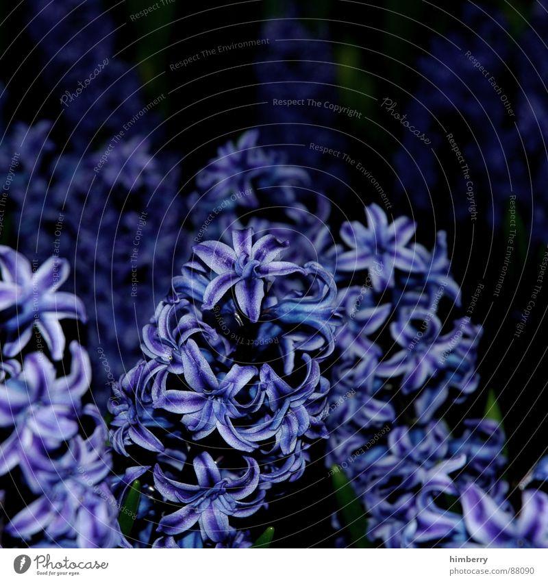 hyacinthic Pflanze Tier Frühling Nacht Blumenbeet Pflanzenteile Blumenhändler Garten Beet Zoo Hyazinthe Makroaufnahme Nahaufnahme Park Aktien