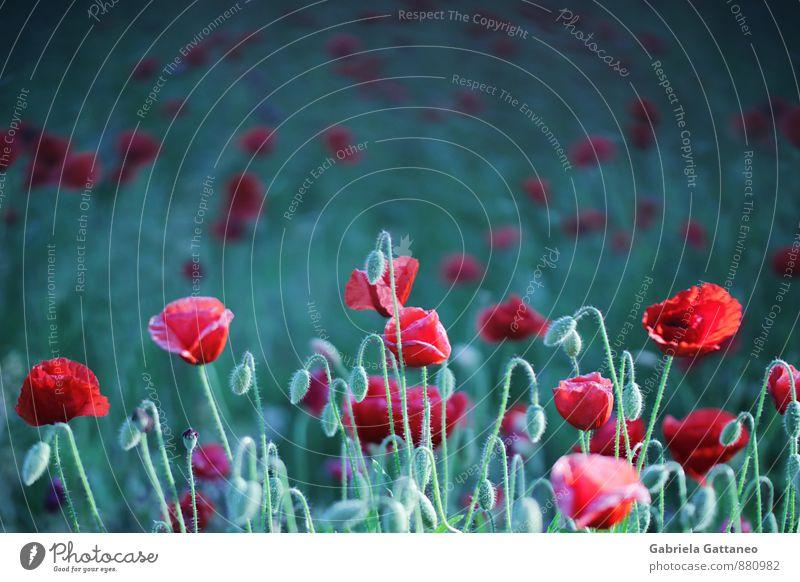 Mohnet... Natur Pflanze Blume Wachstum grün rot Blüten Blühend blühen Feld ruhig Farbfoto Außenaufnahme Textfreiraum oben Schwache Tiefenschärfe