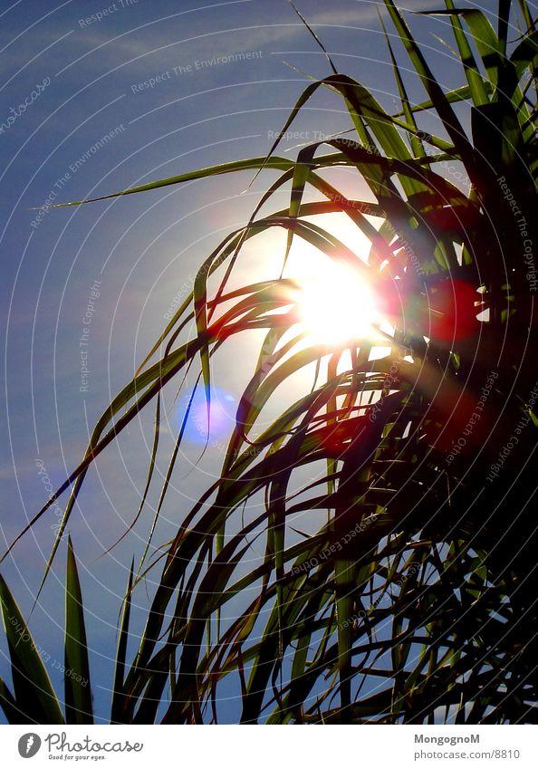 Bambus in Sonne Himmel grün blau hell blenden Bambusrohr