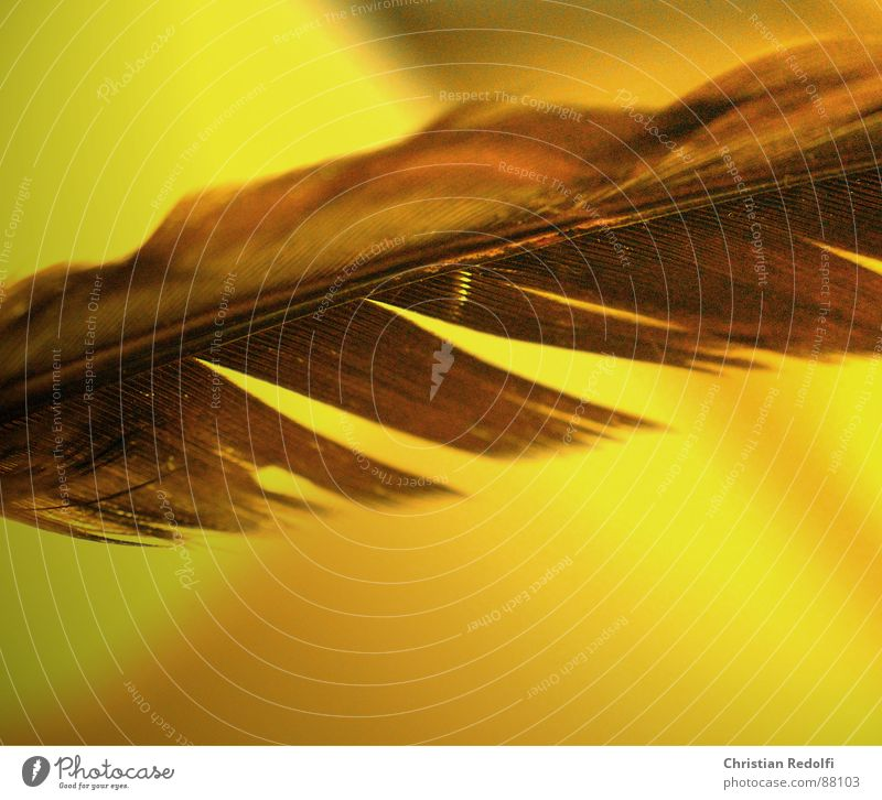 Feder schön gelb Vogel braun kaputt Schweben Leichtigkeit Furche filigran Lamelle