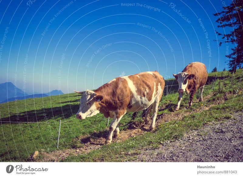 2 Kühe Himmel Natur Ferien & Urlaub & Reisen blau grün Sommer Baum Landschaft Tier Umwelt Berge u. Gebirge Wiese braun Zufriedenheit Tourismus wandern