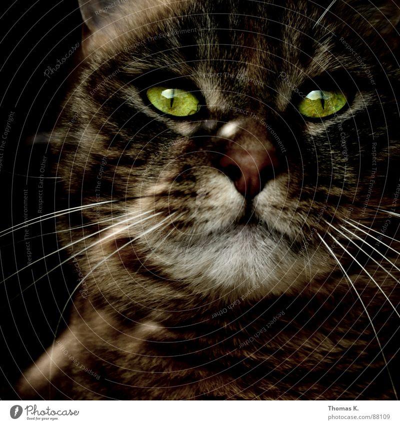 Der Herr Leo. Katze Oberlippenbart Tier Landraubtier Pfote Barthaare Fenster Fell Faultiere Fensterbrett Hauskatze Fensterscheibe Schaufenster Fenstersims