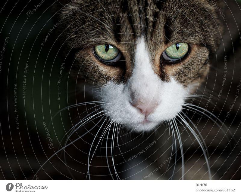Kritischer Blick Katze grün weiß Tier schwarz Auge grau Garten braun wild Kraft Sträucher bedrohlich beobachten Coolness Fell