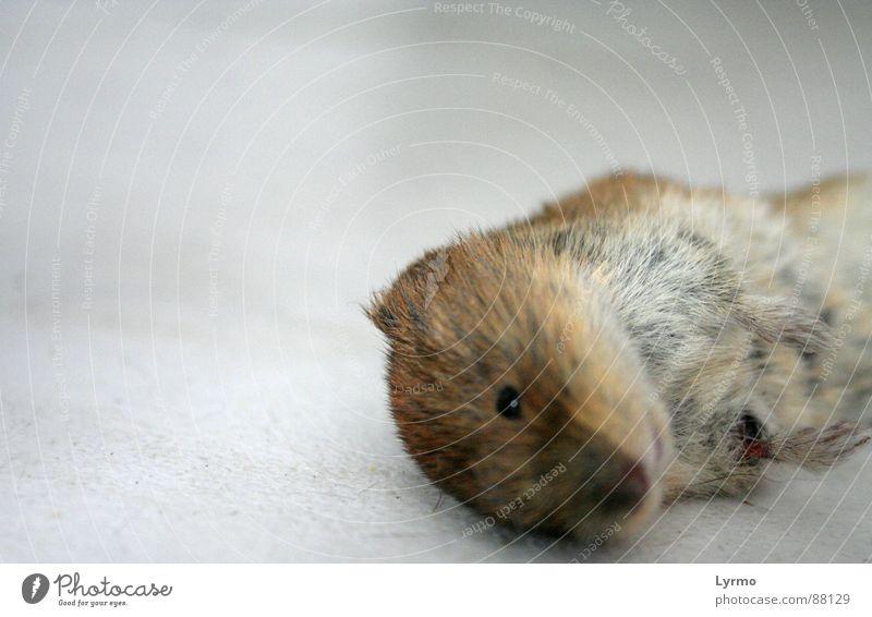 Ende der Trauer Tier Fell Maus Fressen Tod Nagetiere Säugetier Opfer Farbfoto Innenaufnahme Nahaufnahme Menschenleer Freisteller Hintergrund neutral Tierporträt