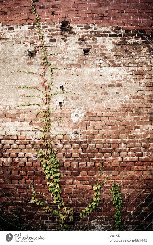 Asket Pflanze Blatt Wildpflanze Efeu Ranke Mauer Wand Fassade Backsteinwand Wachstum alt historisch Klettern Kletterpflanzen hoch festhalten Farbfoto