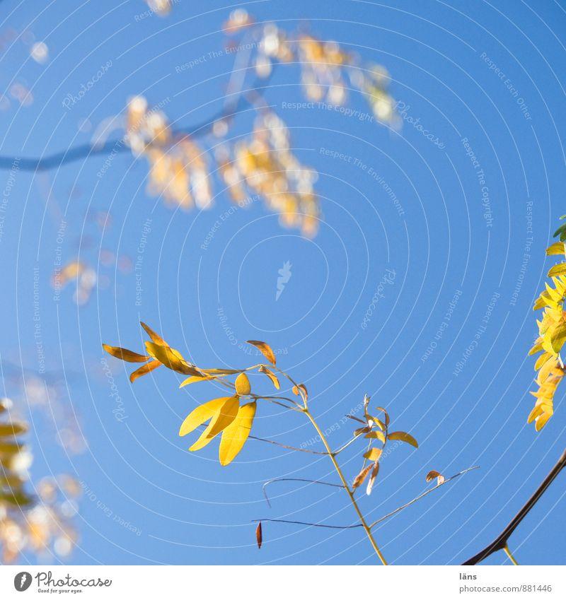 blattweise Umwelt Natur Pflanze Himmel Wolkenloser Himmel Sonnenlicht Herbst Schönes Wetter Baum Blatt leuchten blau gelb Wandel & Veränderung Ast strahlend