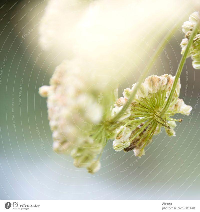 wilde Angelika Natur Pflanze Wildpflanze Doldenblütler Doldenblüte Engelswurz Fruchtstand Heilpflanzen weiß Alternativmedizin hellgrün blassblau Farbfoto