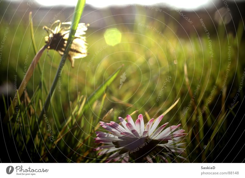 Barfuss im Garten Frühling Wiese Sommer Gänseblümchen ruhig Gelassenheit schön Sonne Weide Natur genießen