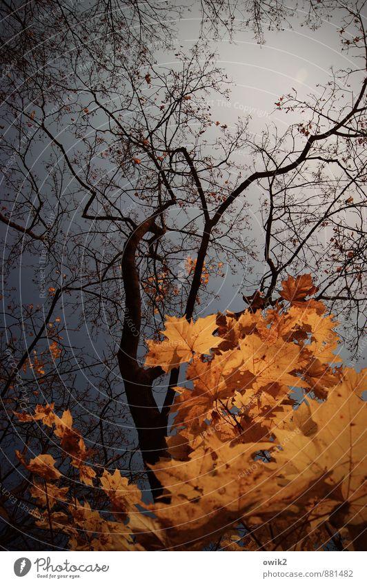 Herbstgold Umwelt Natur Pflanze Wolkenloser Himmel Schönes Wetter Baum Blatt Wildpflanze Zweige u. Äste Ahorn dehydrieren dünn authentisch natürlich viele blau