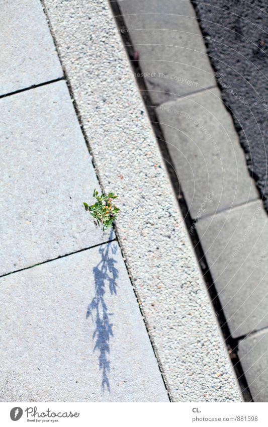 straßenkämpfer Umwelt Natur Schönes Wetter Pflanze Blatt Blüte Grünpflanze Wildpflanze Verkehr Verkehrswege Straße Wege & Pfade kämpfen Wachstum klein grau grün