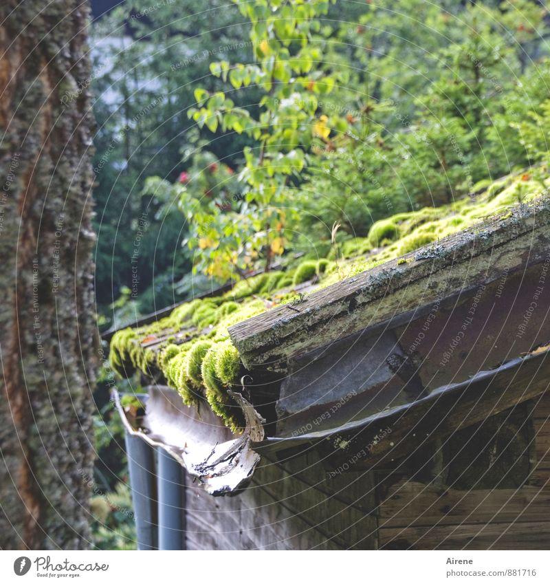 Moos wärmt Natur Pflanze Wetter Garten Wald Hütte Fassade Dach Dachrinne Holz Rost Wachstum Häusliches Leben alt einfach einzigartig nass natürlich Wärme braun