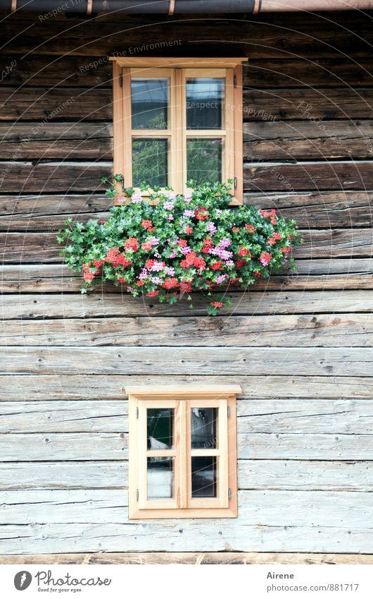 Fensterln Haus Dekoration & Verzierung Blume Österreich Bundesland Tirol Dorf Menschenleer Hütte Holzhaus Almwirtschaft Fassade Blumenschmuck Fensterbrett