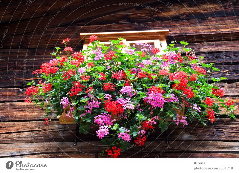 rausgeputzt Pflanze grün rot Blume Haus Fenster natürlich braun Fassade Idylle Dekoration & Verzierung Fröhlichkeit Blühend Lebensfreude Dorf Hütte