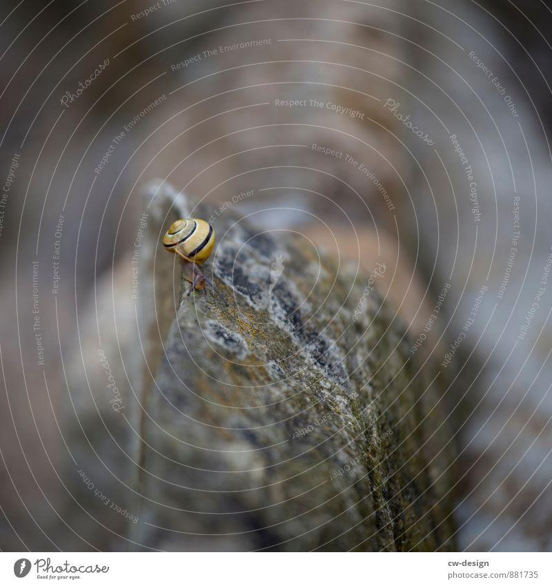 Kantensitzer Umwelt Natur Garten Felsen Tier Schnecke 1 Erholung genießen krabbeln braun gelb grau anstrengen Erfolg Kraft Mobilität Perspektive Tourismus