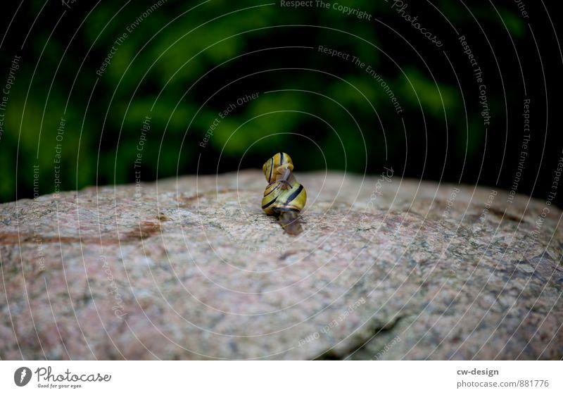 Schneckenpost - kleine Schnecke auf großer Schnecke Schneckenhaus Tier Natur Nahaufnahme Makroaufnahme Außenaufnahme Farbfoto Detailaufnahme Tag Garten Sommer