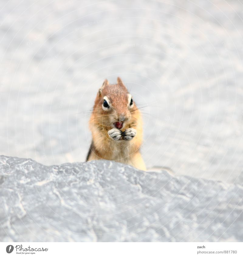 Poserin Tier Auge grau Stein braun Felsen Wildtier stehen niedlich Streifen Körperhaltung Fell Tiergesicht Fressen Pfote füttern