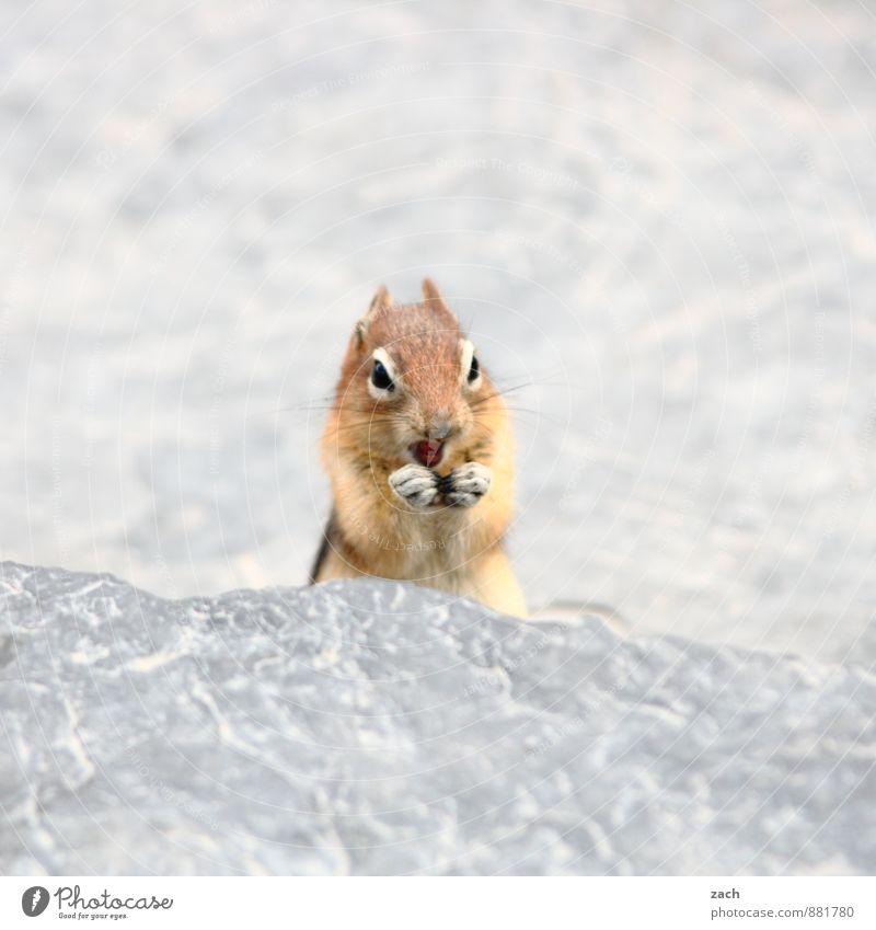Poserin Tier Wildtier Tiergesicht Fell Pfote Streifenhörnchen Felsen Eichhörnchen Nagetiere Schwanz Stein Fressen füttern stehen niedlich braun grau drollig