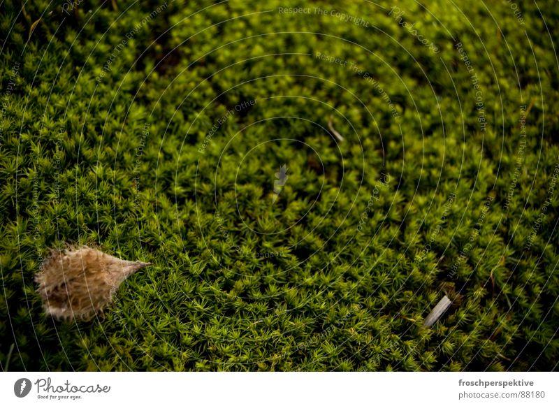 vor allem grün Buchecker Umwelt Holz Nuss Wildnis Nadelwald Wäldchen Waldlichtung Natur Bodenbelag Moosbeere Erde Außenaufnahme