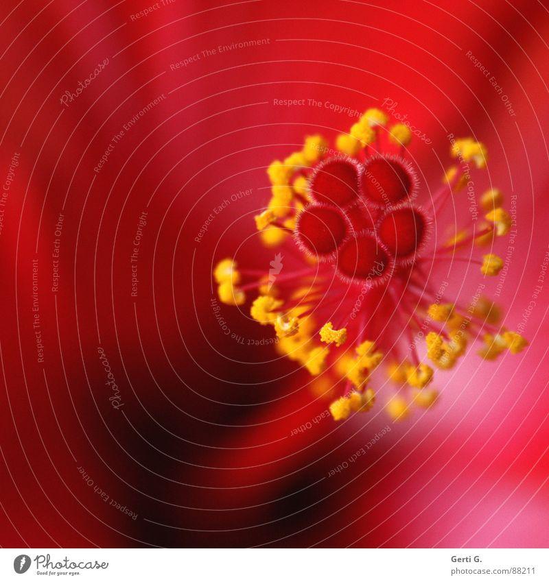 hibisKUSS schön Blume rot gelb Blüte zart Tiefenschärfe Stengel filigran Stempel Pollen fein Staub Blütenstempel winzig Hibiscus