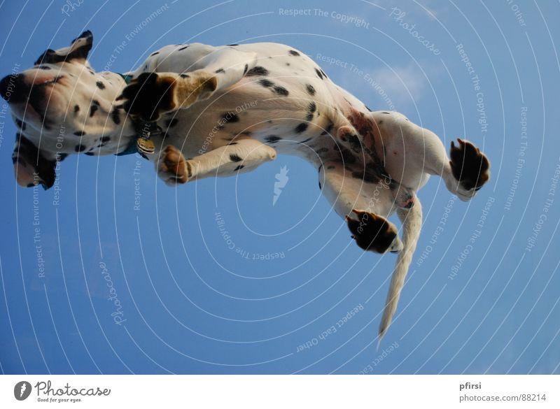 Hund von unten - 1 Dalmatiner Haustier weiß schwarz Säugetier Punkt Himmel blau Bauch