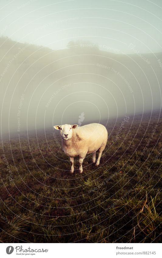 Schaf Natur Tier Herbst Nebel Wiese Nutztier 1 Fressen Blick kalt Neugier retro trist Stimmung Gelassenheit ruhig Einsamkeit Umwelt Wolle Nostalgie Farbfoto
