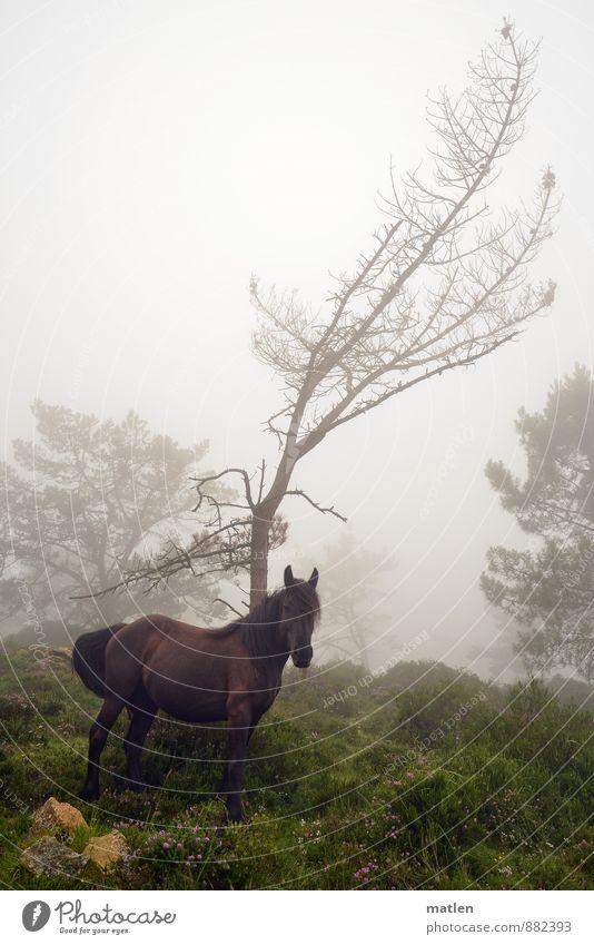 überraschende Begegnung Natur Landschaft Pflanze Tier Sommer Wetter schlechtes Wetter Nebel Baum Gras Sträucher Moos Felsen Pferd 1 stehen braun grau grün