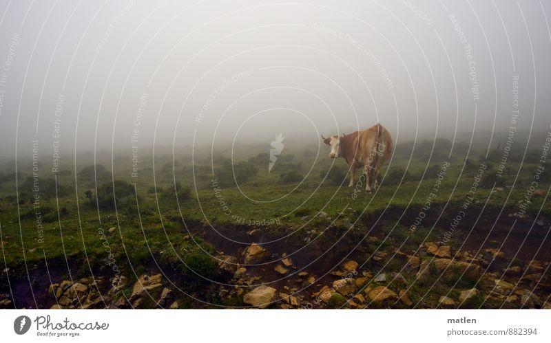 ich seh dich Landschaft Sommer Wetter schlechtes Wetter Nebel Gras Moos Tier Haustier Kuh 1 braun grün weiß Stein Blick drehen Farbfoto Außenaufnahme