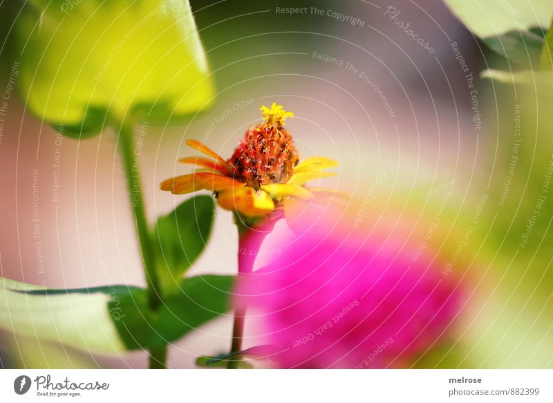 Farbiger Leckerbissen Natur Pflanze Sommer Blume Blatt Blüte Grünpflanze Gartenpflanzen Park Blühend Erholung leuchten schön braun gelb grün rosa Glück