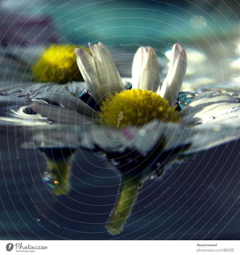 Schwimm Blümchen, schwimm! Wasser Blume Pflanze Erholung springen Blüte Frühling Garten Wassertropfen Wellness Gänseblümchen Teich Rettung Erfrischung retten